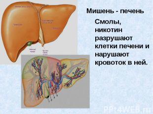 Смолы, никотин разрушают клетки печени и нарушают кровоток в ней.