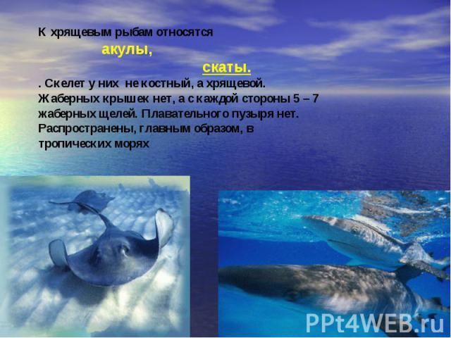 К хрящевым рыбам относятся акулы, скаты.. Скелет у них не костный, а хрящевой. Жаберных крышек нет, а с каждой стороны 5 – 7 жаберных щелей. Плавательного пузыря нет. Распространены, главным образом, в тропических морях
