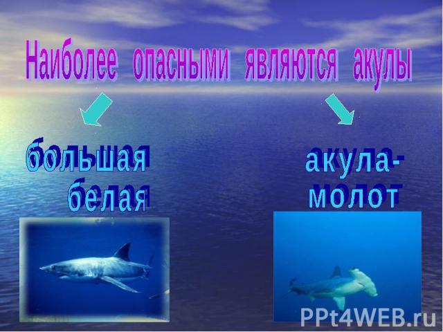 Наиболее опасными являются акулы б о л ь ш а я б е л а я а к у л а - м о л о т