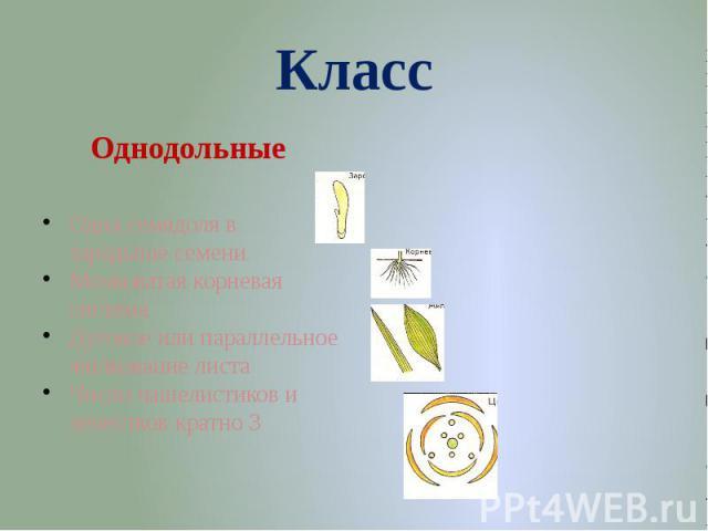 КлассОднодольные Одна семядоля в зародыше семениМочковатая корневая системаДуговое или параллельное жилкование листаЧисло чашелистиков и лепестков кратно 3