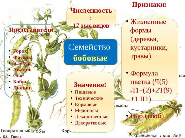 Семейство бобовые Представители:ГорохФасольКлеверАкацияСояБобыЛюпин Численность: 17 тыс видов Признаки:Жизненные формы (деревья, кустарники, травы)Формула цветка (Ч(5) Л1+(2)+2Т(9)+1 П1)Плод (боб)