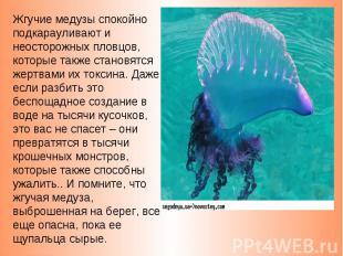 Жгучие медузы спокойно подкарауливают и неосторожных пловцов, которые также стан