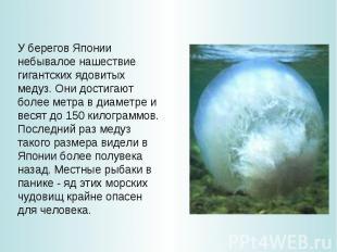 У берегов Японии небывалое нашествие гигантских ядовитых медуз. Они достигают бо