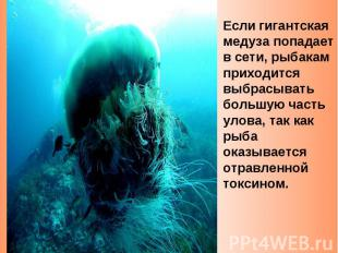 Если гигантская медуза попадает в сети, рыбакам приходится выбрасывать большую ч