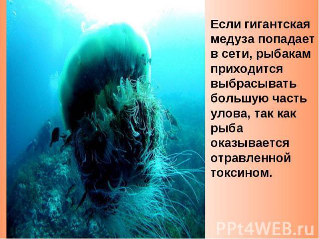 Если гигантская медуза попадает в сети, рыбакам приходится выбрасывать большую часть улова, так как рыба оказывается отравленной токсином.