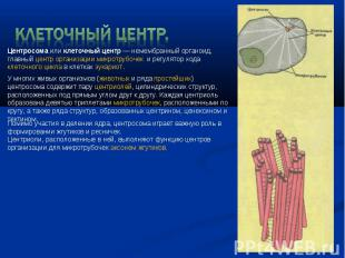 Клеточный центр. Центросомаиликлеточный центр— немембранный органоид, главный