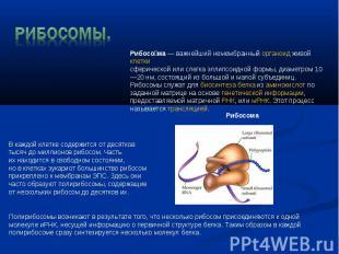 Рибосомы. Рибосома—важнейший немембранныйорганоидживой клеткисферической ил