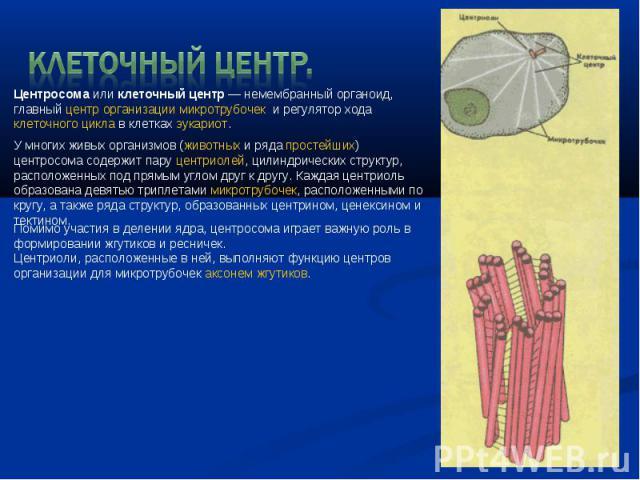 Клеточный центр. Центросомаиликлеточный центр— немембранный органоид, главныйцентр организации микротрубочек и регулятор ходаклеточного циклав клетках эукариот. У многих живых организмов (животныхи рядапростейших) центросома содержит паруц…