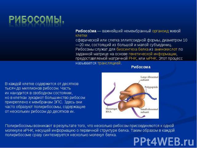 Рибосомы. Рибосома—важнейший немембранныйорганоидживой клеткисферической или слегка эллипсоидной формы, диаметром 10—20нм, состоящий из большой и малой субъединиц. Рибосомы служат длябиосинтеза белкаиз аминокислотпо заданной матрице на осно…