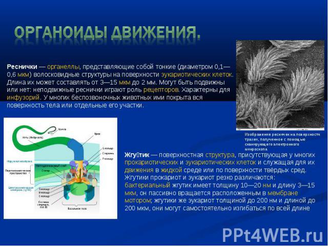 Органоиды движения. Реснички—органеллы, представляющие собой тонкие (диаметром 0,1—0,6мкм) волосковидные структуры на поверхностиэукариотическихклеток. Длина их может составлять от 3—15мкмдо 2 мм. Могут быть подвижны или нет: неподвижные ресн…