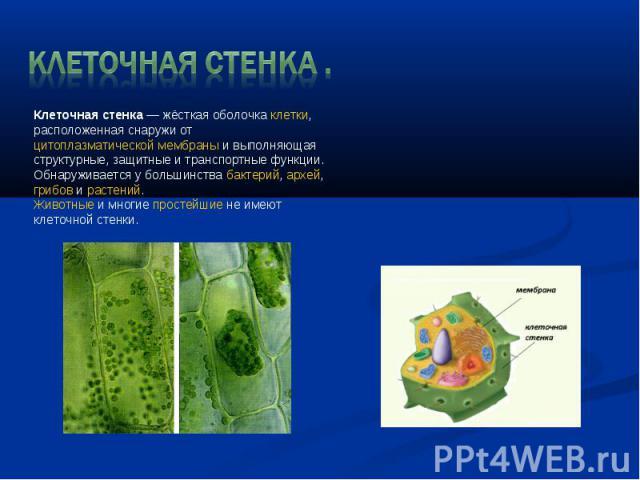Клеточная стенка. Клеточная стенка— жёсткая оболочкаклетки, расположенная снаружи отцитоплазматической мембраныи выполняющая структурные, защитные и транспортные функции. Обнаруживается у большинствабактерий,архей, грибовирастений.Животные…