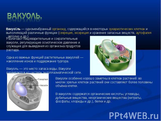 ВАКУОЛЬ. Вакуоль— одномембранныйорганоид, содержащийся в некоторыхэукариотическихклеткахи выполняющий различные функции (секреция,экскрецияи хранение запасных веществ,аутофагия,автолизи др.). Различают пищеварительные и сократительные ваку…