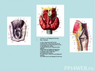 Гортань и щитовидная железаВид спереди.1-тело подъязычной кости; 2-малый рог под