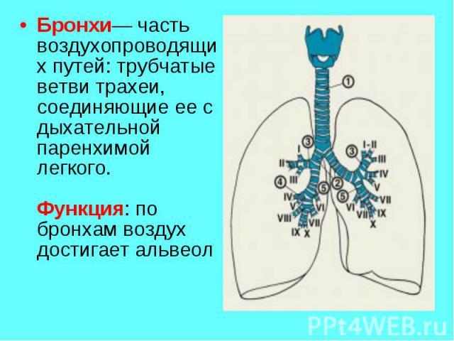 Бронхи— часть воздухопроводящих путей: трубчатые ветви трахеи, соединяющие ее с дыхательной паренхимой легкого.Функция: по бронхам воздух достигает альвеол