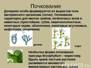 Почкование Дочерние особи формируются из выростов тела материнского организма (п