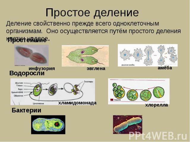 Простое деление Деление свойственно прежде всего одноклеточным организмам. Оно осуществляется путём простого деления клетки надвое.