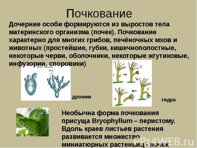 Почкование Дочерние особи формируются из выростов тела материнского организма (почек). Почкование характерно для многих грибов, печёночных мхов и животных (простейшие, губки, кишечнополостные, некоторые черви, оболочники, некоторые жгутиковые, инфуз…