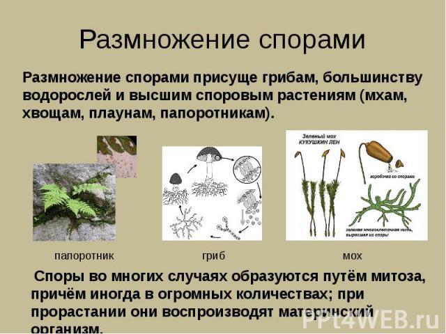 Размножение спорами Размножение спорами присуще грибам, большинству водорослей и высшим споровым растениям (мхам, хвощам, плаунам, папоротникам). Споры во многих случаях образуются путём митоза, причём иногда в огромных количествах; при прорастании …