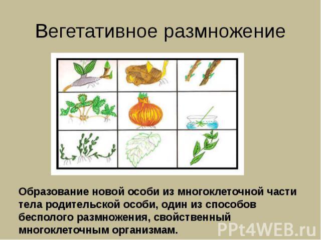 Вегетативное размножение Образование новой особи из многоклеточной части тела родительской особи, один из способов бесполого размножения, свойственный многоклеточным организмам.