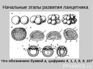 Начальные этапы развития ланцетника Что обозначено буквой а, цифрами 4, 1, 3, 8,