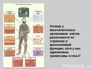 Почему у многоклеточных организмов клетки различаются по строению и выполняемой