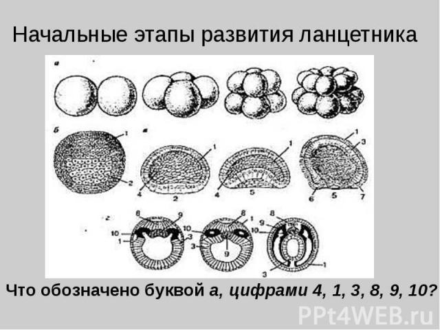 Начальные этапы развития ланцетника Что обозначено буквой а, цифрами 4, 1, 3, 8, 9, 10?