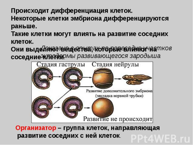 Происходит дифференциация клеток.Некоторые клетки эмбриона дифференцируются раньше.Такие клетки могут влиять на развитие соседних клеток.Они выделяют вещества, которые влияют на соседние клетки. Доказано в опытах по пересадке участков эктодермы разв…