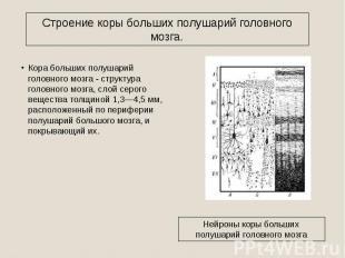 Строение коры больших полушарий головного мозга. Кора больших полушарий головног