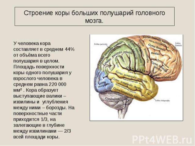 Строение коры больших полушарий головного мозга. У человека кора составляет в среднем 44% от объёма всего полушария в целом. Площадь поверхности коры одного полушария у взрослого человека в среднем равна 220 000 мм² . Кора образует выступающие валик…