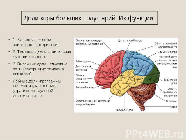 Доли коры больших полушарий. Их функции. 1. Затылочные доли – зрительное восприятие2. Теменные доли –тактильная чувствительность3. Височные доли –слуховые зоны (восприятие звуковых сигналов)Лобные доли -программы поведения, мышление, управление труд…