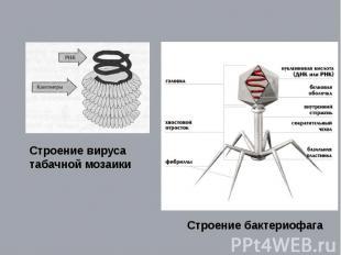 Строение вируса табачной мозаики Строение бактериофага