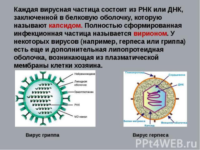 Каждая вирусная частица состоит из РНК или ДНК, заключенной в белковую оболочку, которую называют капсидом. Полностью сформированная инфекционная частица называется вирионом. У некоторых вирусов (например, герпеса или гриппа) есть еще и дополнительн…
