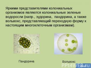 Яркими представителями колониальных организмов являются колониальные зеленые вод