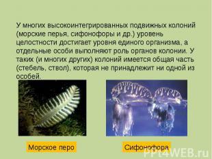 У многих высокоинтегрированных подвижных колоний (морские перья, сифонофоры и др