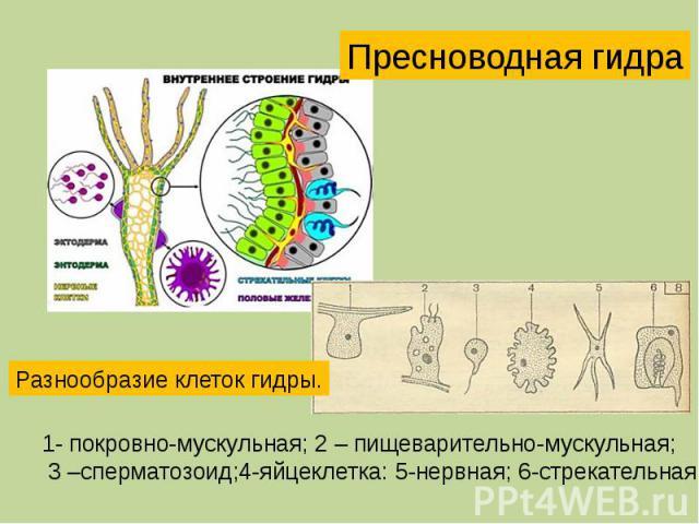 Пресноводная гидра Разнообразие клеток гидры. 1- покровно-мускульная; 2 – пищеварительно-мускульная; 3 –сперматозоид;4-яйцеклетка: 5-нервная; 6-стрекательная.
