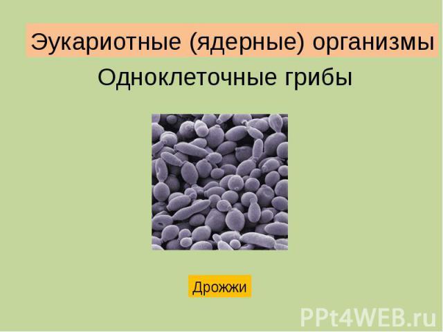 Эукариотные (ядерные) организмы Одноклеточные грибы