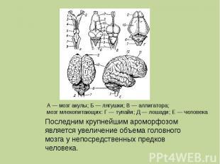 Последним крупнейшим ароморфозом является увеличение объема головного мозга у не