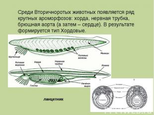 Среди Вторичноротых животных появляется ряд крупных ароморфозов: хорда, нервная