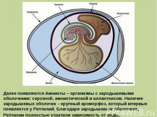 Далее появляются Амниоты – организмы с зародышевыми оболочками: серозной, амниот