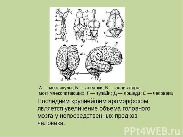 Последним крупнейшим ароморфозом является увеличение объема головного мозга у непосредственных предков человека.