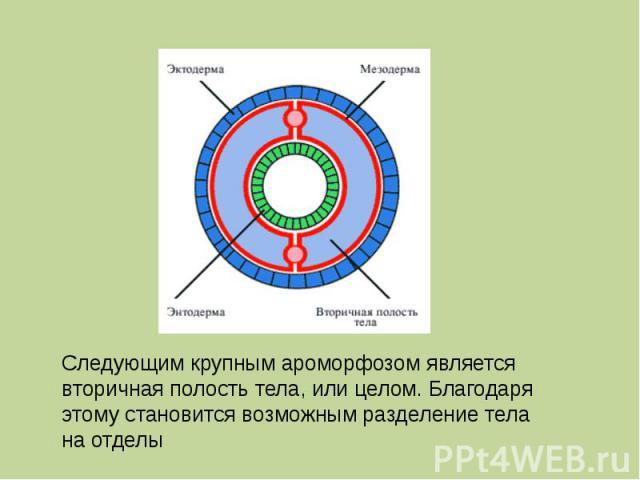 Следующим крупным ароморфозом является вторичная полость тела, или целом. Благодаря этому становится возможным разделение тела на отделы