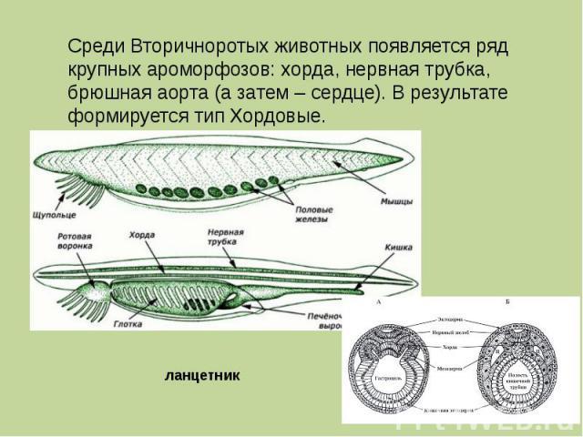 Среди Вторичноротых животных появляется ряд крупных ароморфозов: хорда, нервная трубка, брюшная аорта (а затем – сердце). В результате формируется тип Хордовые. ланцетник