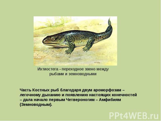 Ихтиостега - переходное звено между рыбами и земноводными Часть Костных рыб благодаря двум ароморфозам – легочному дыханию и появлению настоящих конечностей – дала начало первым Четвероногим – Амфибиям (Земноводным).