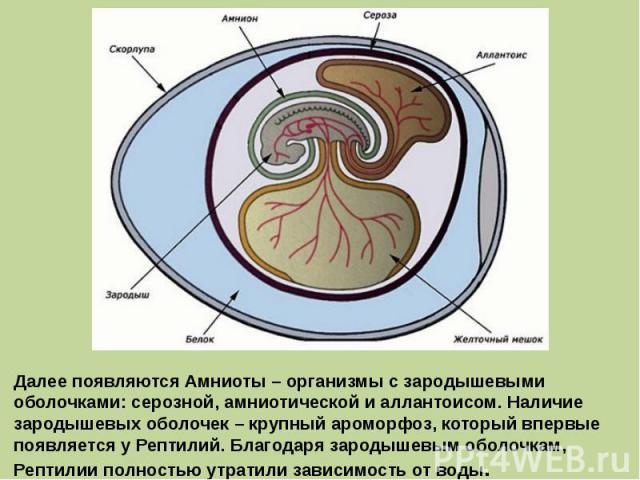 Далее появляются Амниоты – организмы с зародышевыми оболочками: серозной, амниотической и аллантоисом. Наличие зародышевых оболочек – крупный ароморфоз, который впервые появляется у Рептилий. Благодаря зародышевым оболочкам, Рептилии полностью утрат…