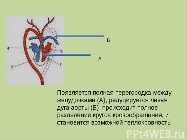 Появляется полная перегородка между желудочками (А), редуцируется левая дуга аорты (Б), происходит полное разделение кругов кровообращения, и становится возможной теплокровность.