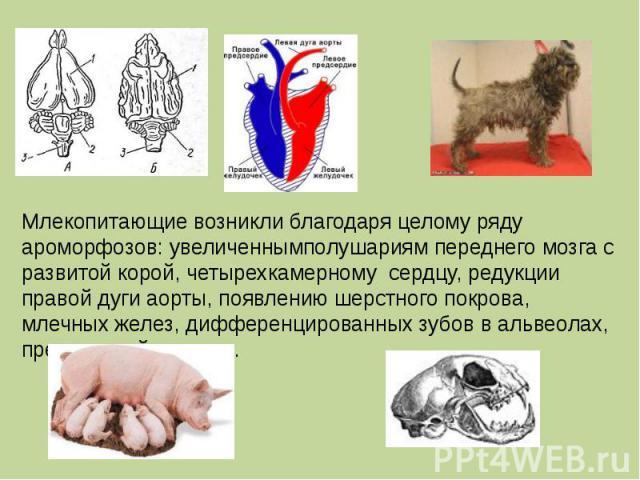 Млекопитающие возникли благодаря целому ряду ароморфозов: увеличеннымполушариям переднего мозга с развитой корой, четырехкамерному сердцу, редукции правой дуги аорты, появлению шерстного покрова, млечных желез, дифференцированных зубов в альвеолах, …