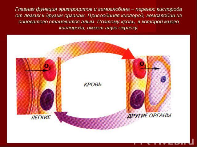 Главная функция эритроцитов и гемоглобина – перенос кислорода от легких к другим органам. Присоединяя кислород, гемоглобин из синеватого становится алым. Поэтому кровь, в которой много кислорода, имеет алую окраску.