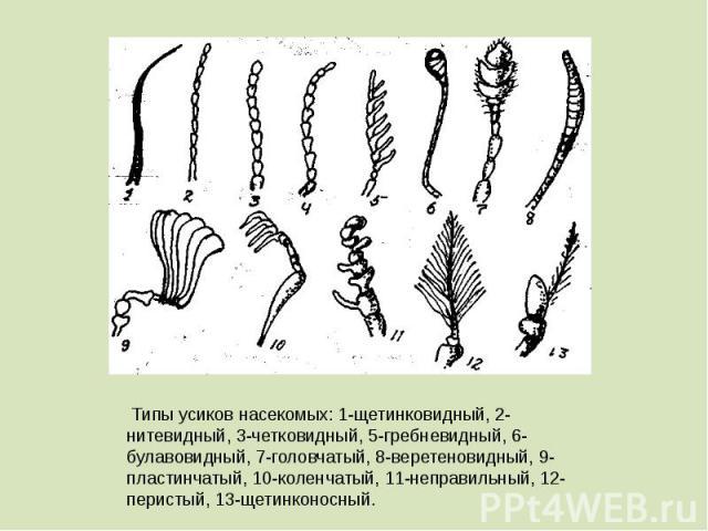 Типы усиков насекомых: 1-щетинковидный, 2-нитевидный, 3-четковидный, 5-гребневидный, 6-булавовидный, 7-головчатый, 8-веретеновидный, 9-пластинчатый, 10-коленчатый, 11-неправильный, 12-перистый, 13-щетинконосный.