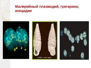 Малярийный плазмодий, грегарина, кокцидии