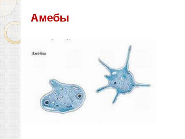 Амебы
